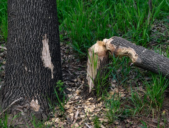 Evidence of beaver activity has returned to Cedar Creek. People participating in Saturday's Mayor's Hike along the Cedar Creek Waterway passed this downed tree Saturday and others that had been gnawed on.
