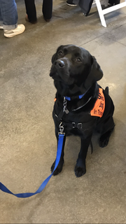 Hank, a service dog in training with Clear Path for Veterans.