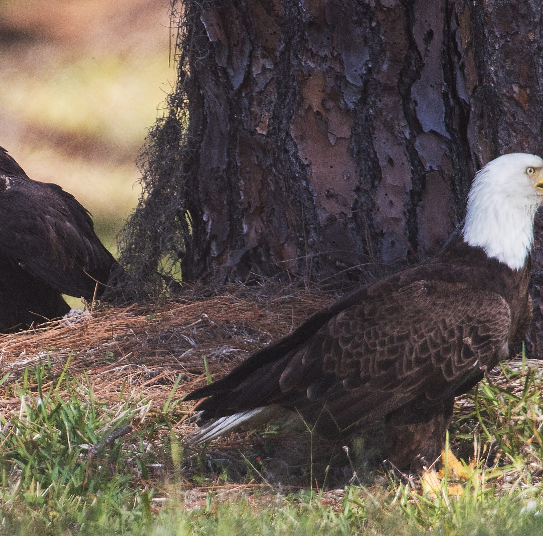 Move over Harriet and M15, there's a bigger bald eagle family in town