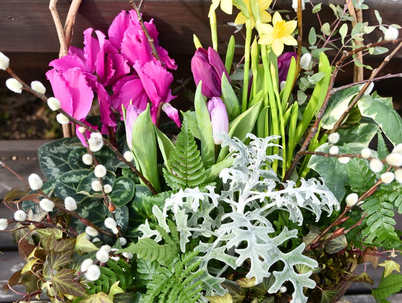 A hanging basket with tulips, jonquil, cyclamen, and eucalyptus.