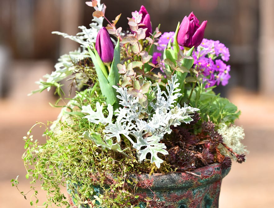 A garden container with tulips, rosemary, primrose, eucalyptus, hens and chicks and thyme.