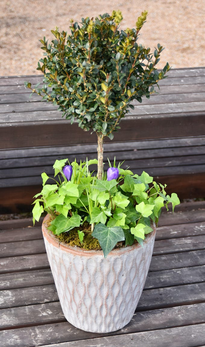A garden container with a boxwood topiary, ivy, and crocus bulbs.