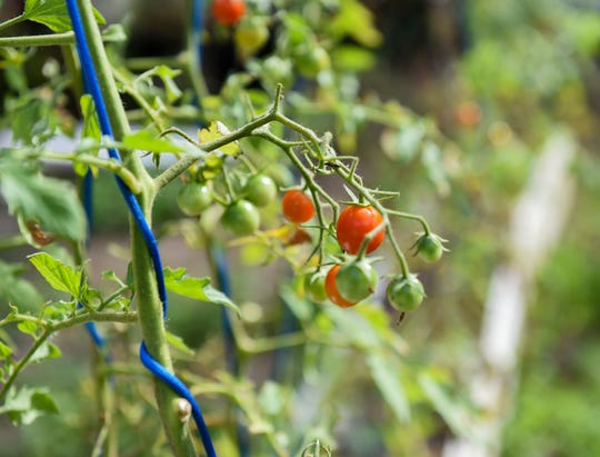 A cherry tomato plant grown at Village Micro-Farms in Mangilao, April 1, 2019.
