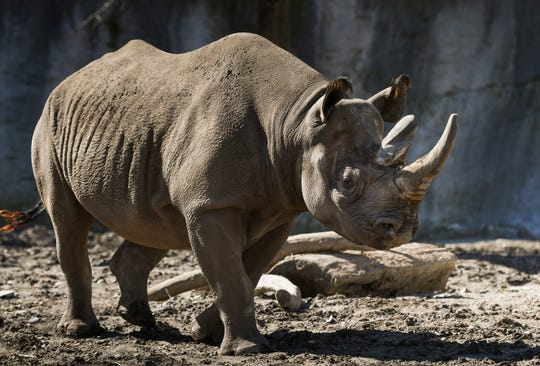 Doppsee, a critically endangered black rhino at Potter Park Zoo in Lansing, gets some sun, Monday, April 1, 2019.  Zoo officials announced the black rhino is pregnant. According to the International Union for Conservation of Nature and Natural Resources, there are only 5,000 black rhinos remaining in the wild and only about 60 at zoos in the United States.