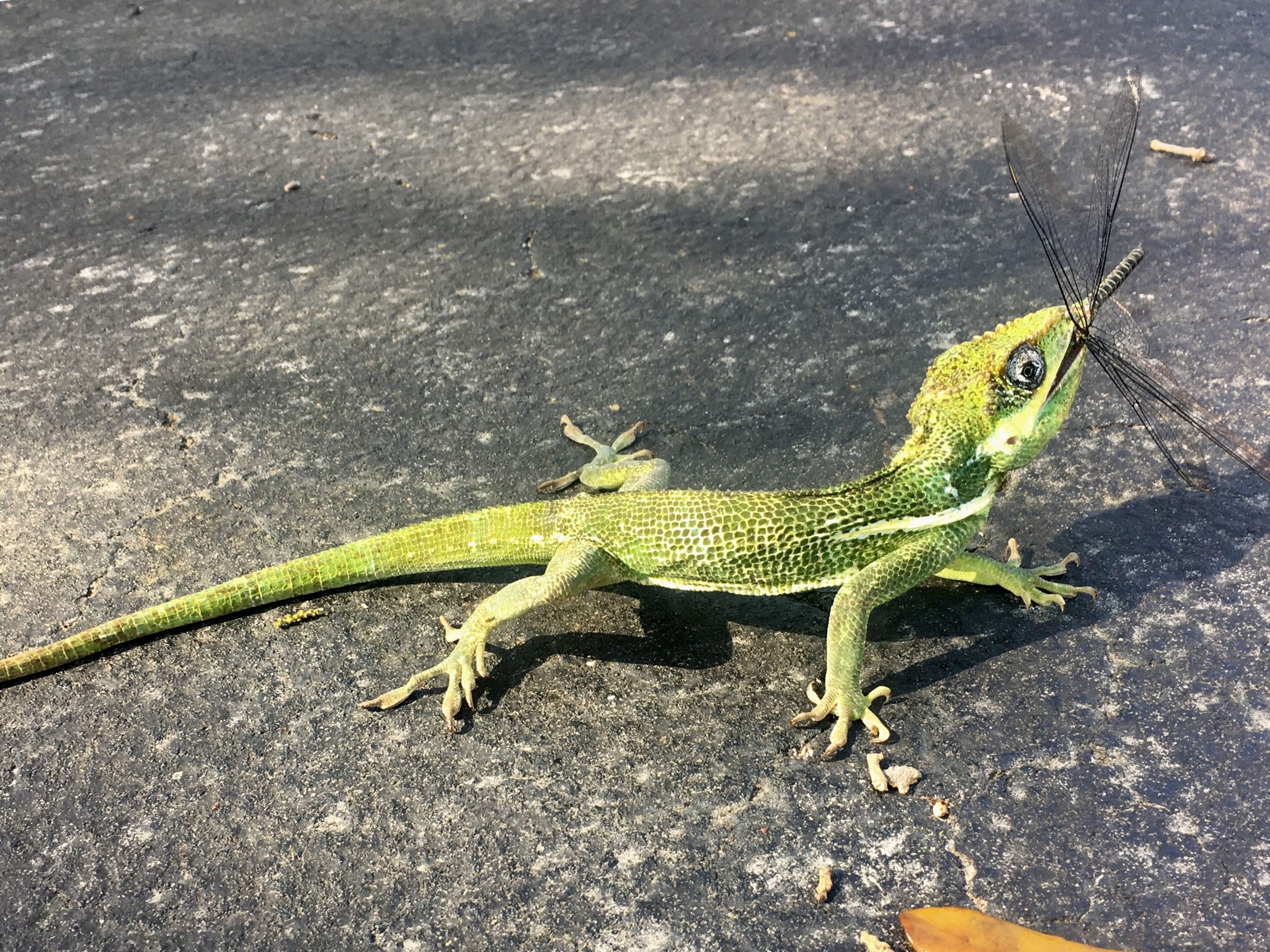 "Donna Hausler writes, ""Cuban Lizard enjoying an enviable lunch"" taken in North Naples."