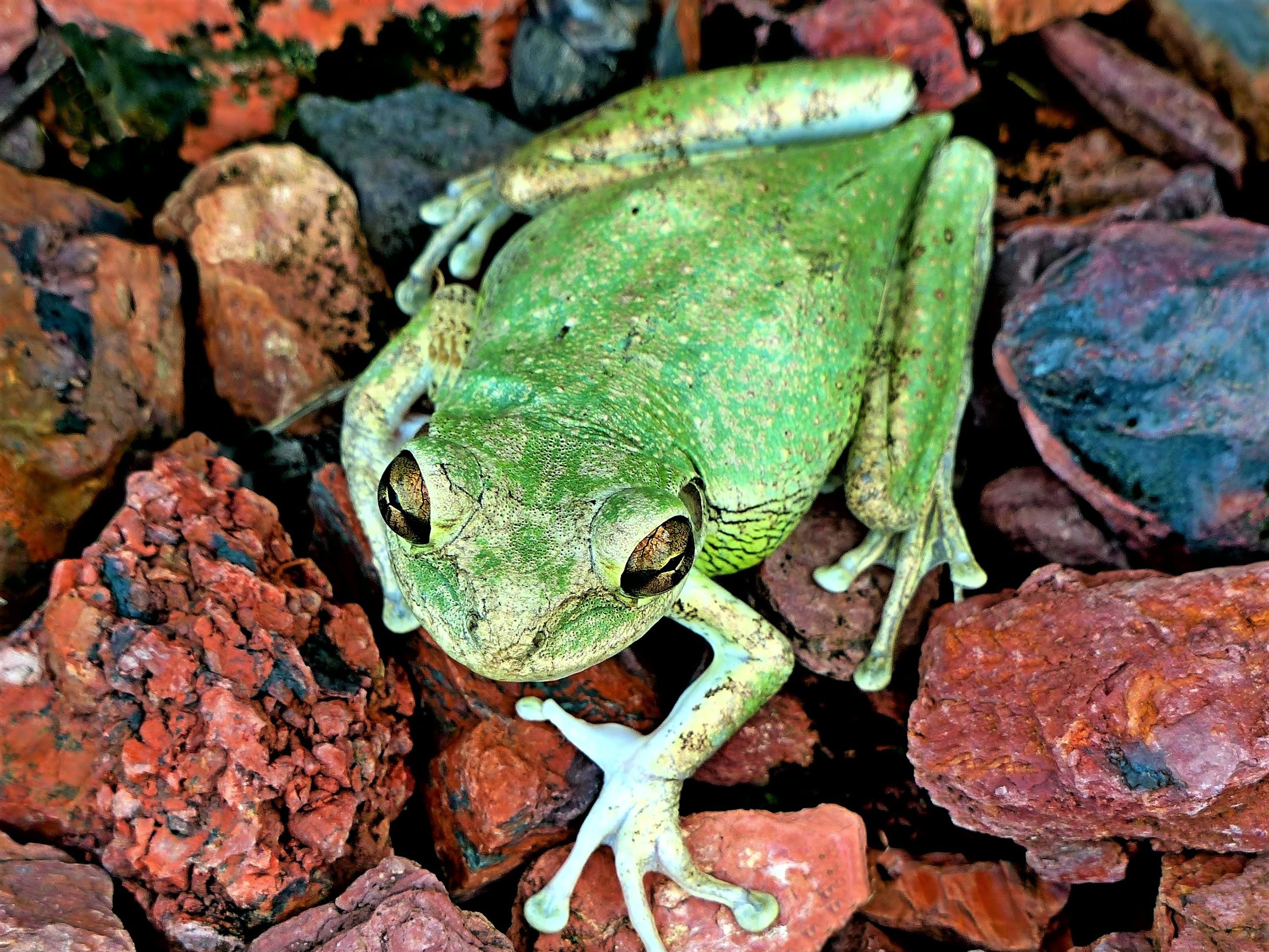"""Steve Rimar writes, """"this is a Cuban tree frog taken in Estero at our residence."""""""