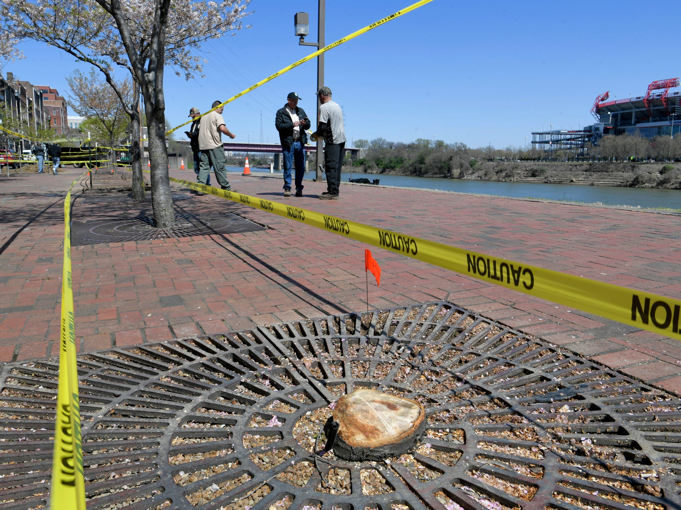 Three dead Yoshino Cherry trees were cut down by Metro Parks and Recreation on the Nashville waterfront and to make way for a giant stage for the upcoming NFL Draft.