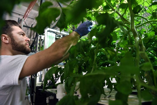 Matt Ravetier, a farm technician at Greens Do Good, trims a  tomato plant on Tuesday, April 2, 2019. Greens Do Good is New Jersey's first hydroponic vertical farm where all proceeds benefit adults with autism.
