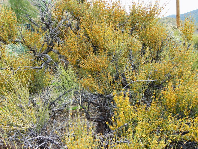 Old specimens have weathered recent drought years and are suddenly waking up with the high levels of rainfall.