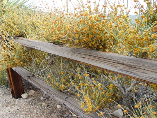 Native ephedra in bloom, along a fence line demonstrates its fine texture.