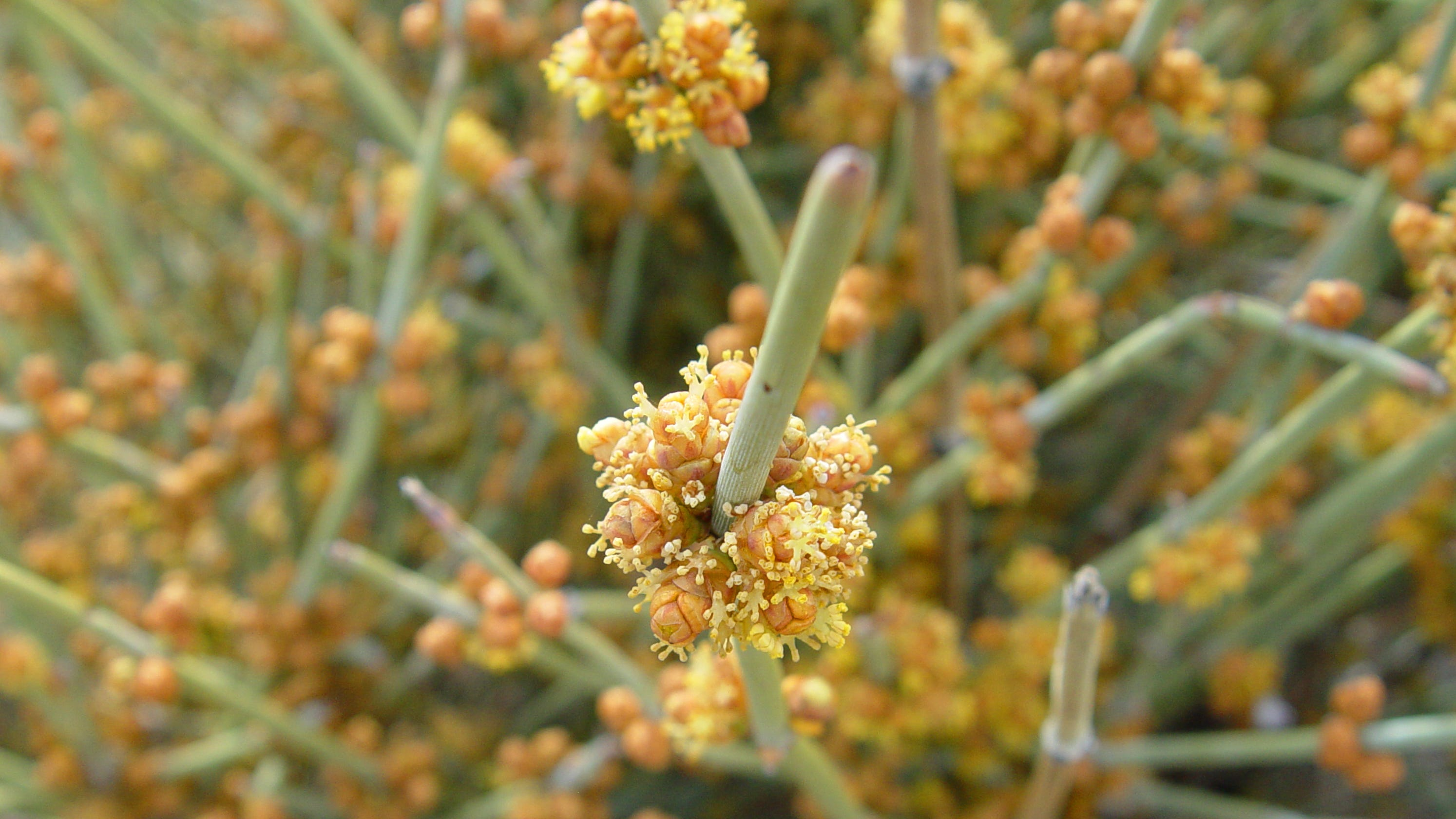 California's ephedra — males are standing out in 'golden