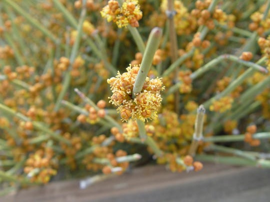 Ephedra's relationship to the pines is evidenced by the tiny cones arrayed with anthers.