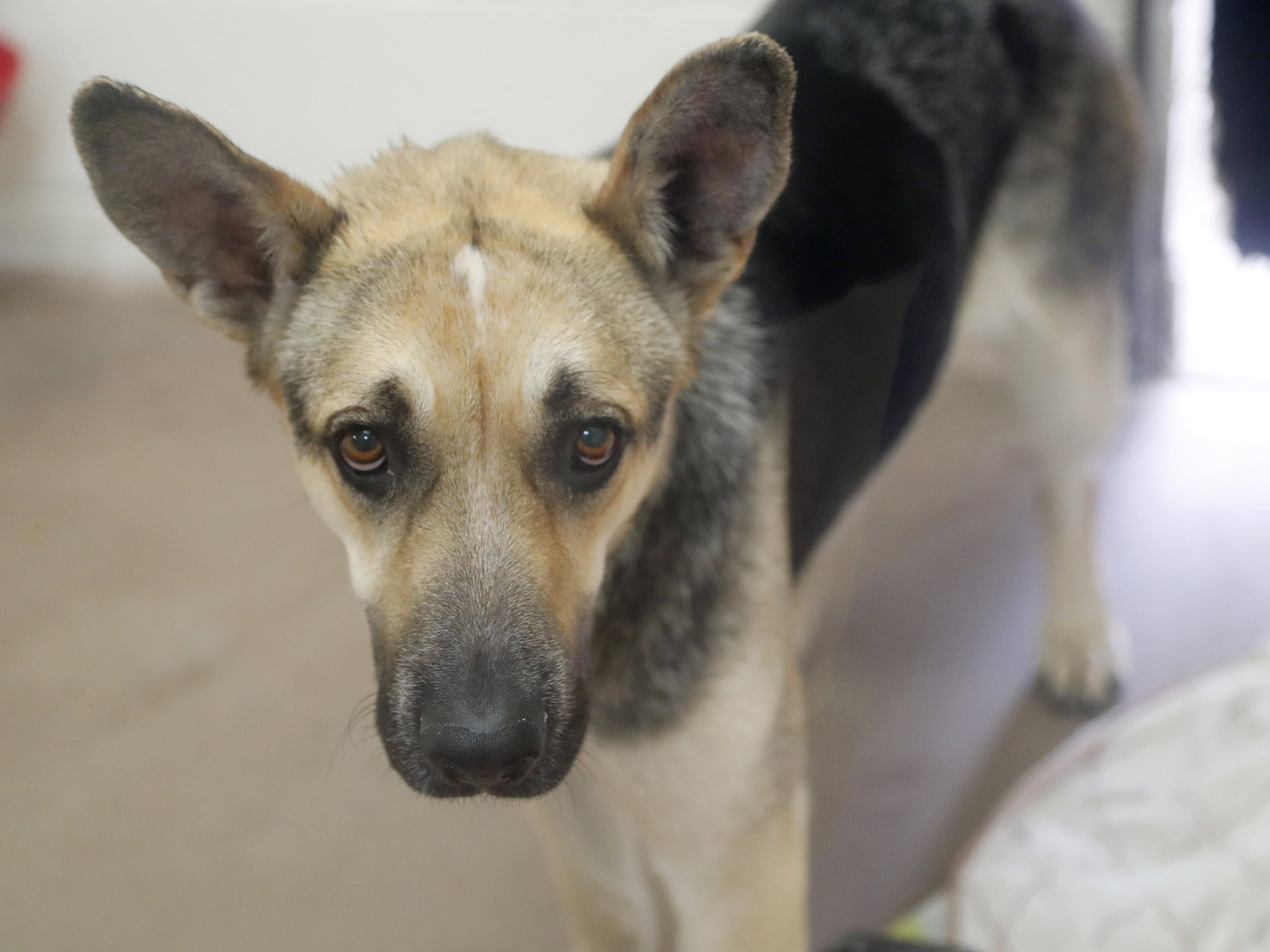 Luna waits to be adopted at the Arizona Humane Society in Phoenix on April 1, 2019. More than 8,000 dogs and cats have been surrendered in Maricopa County since the start of the year.
