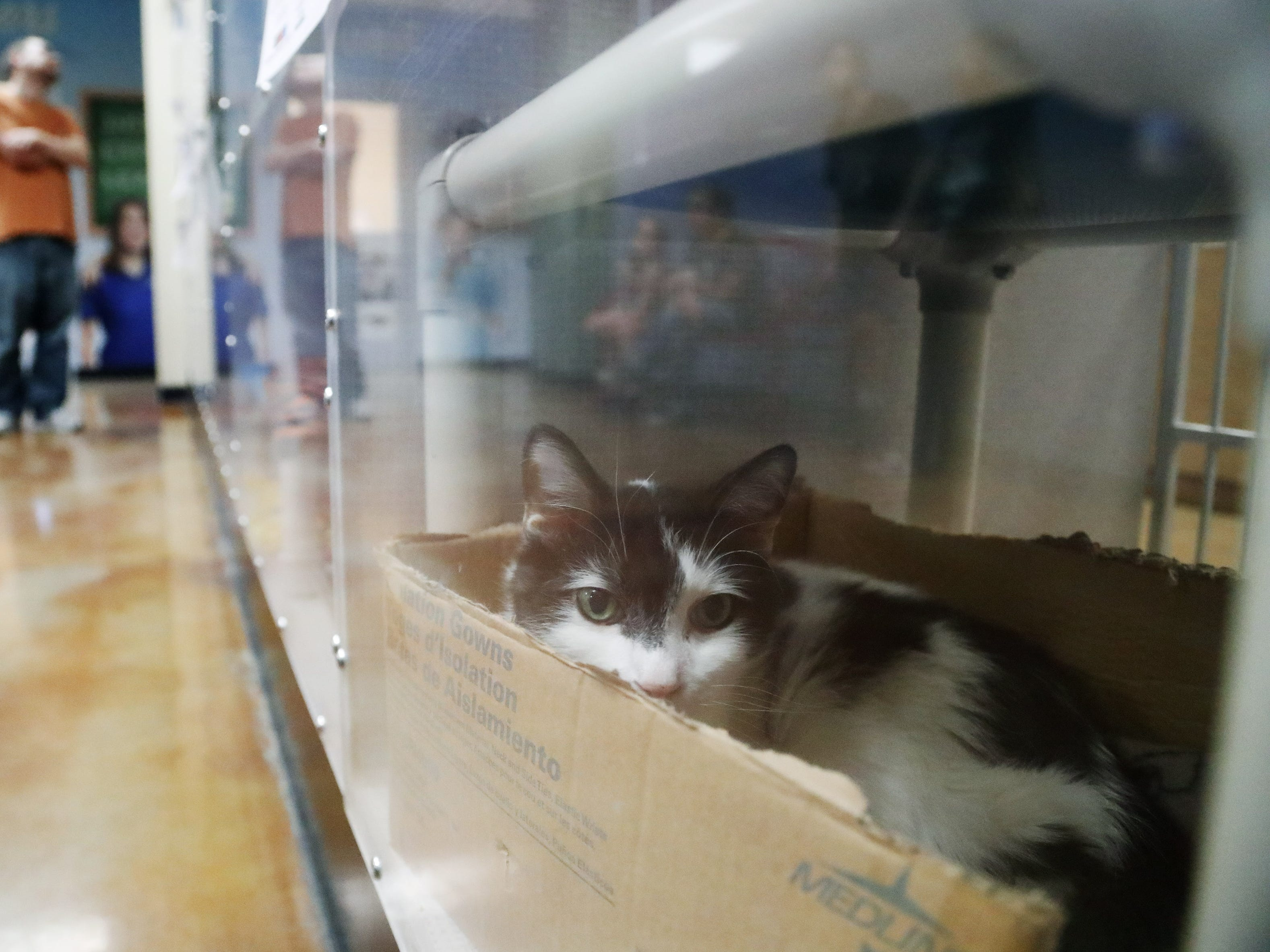 Azriel, a domestic medium hair, waits to be adopted at the Arizona Humane Society in Phoenix on April 1, 2019. More than 8,000 dogs and cats have been surrendered in Maricopa County since the start of the year.
