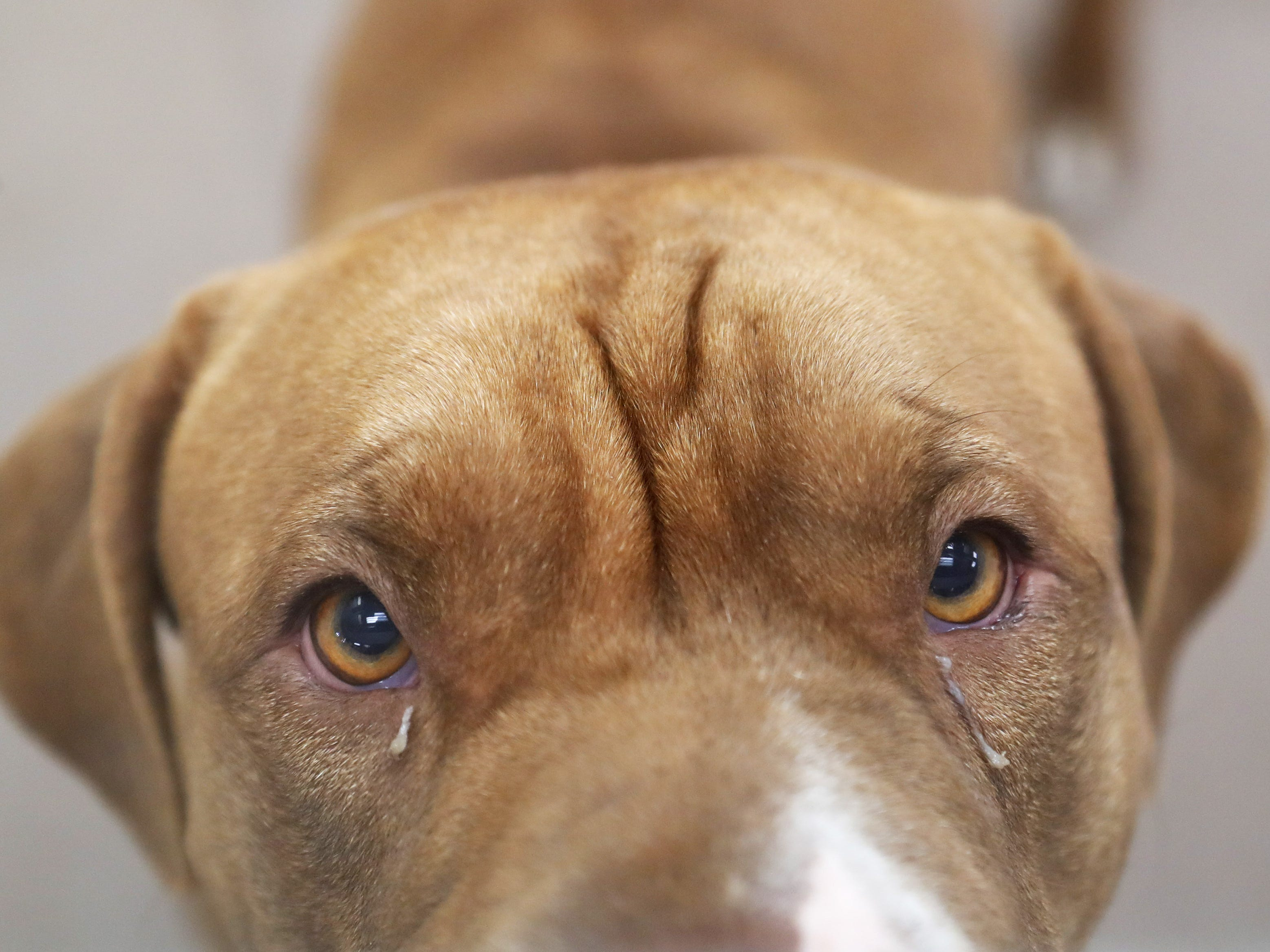 Carly, a Chinese Shar-Pei and American pit bull mix, waits to be adopted at the Arizona Humane Society in Phoenix on April 1, 2019. More than 8,000 dogs and cats have been surrendered in Maricopa County since the start of the year.