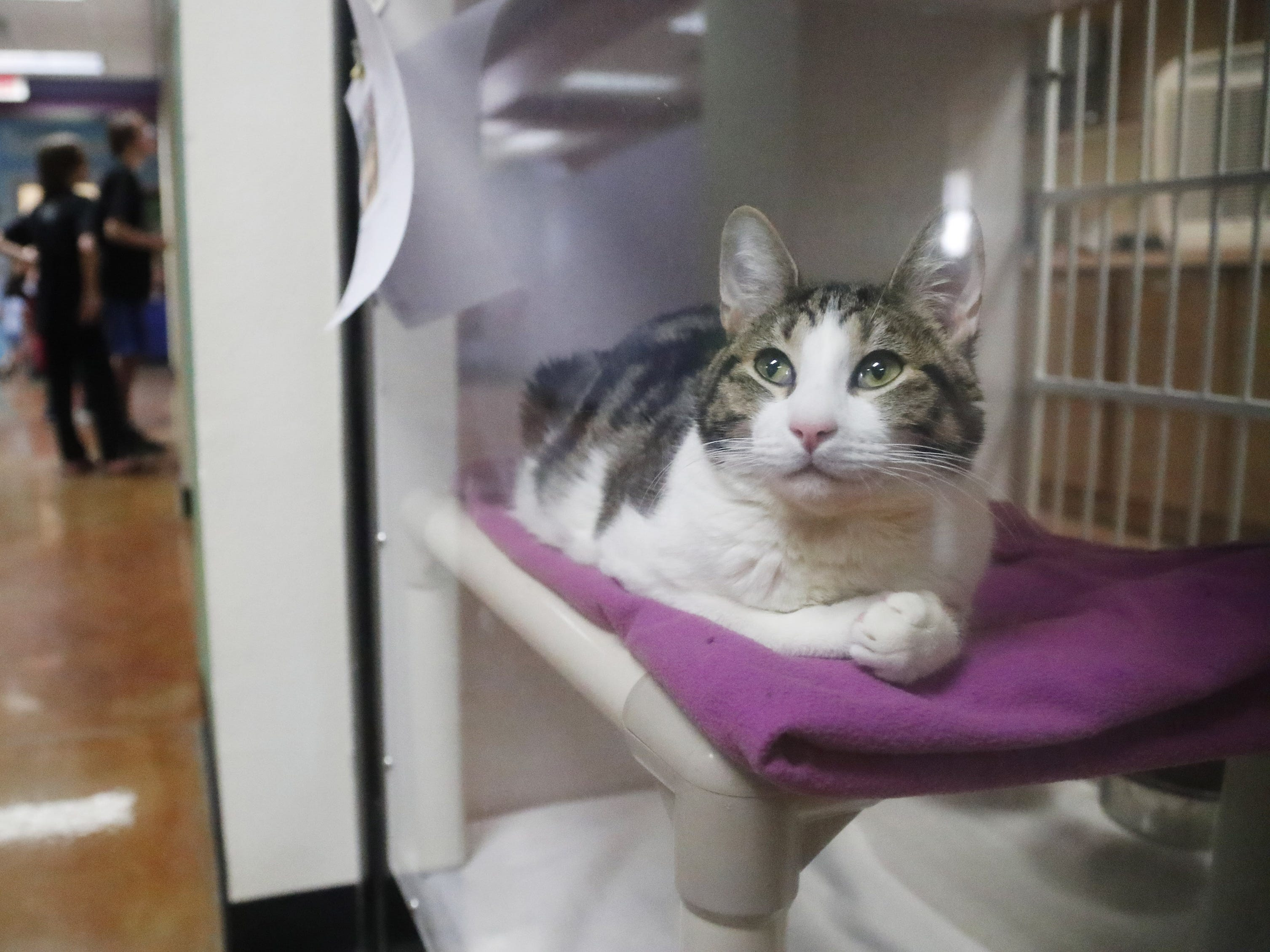 Cooper, a domestic shorthair, waits to be adopted at the Arizona Humane Society in Phoenix on April 1, 2019. More than 8,000 dogs and cats have been surrendered in Maricopa County since the start of the year.