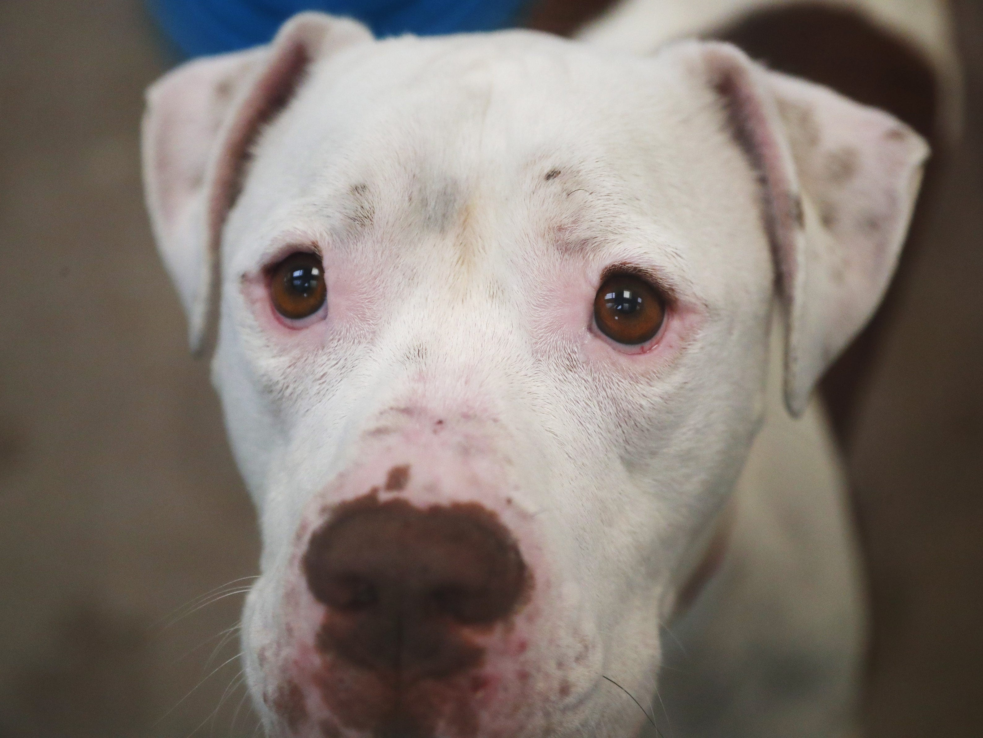 Toby, an American pit bull terrier, waits to be adopted at the Arizona Humane Society in Phoenix on April 1, 2019. More than 8,000 dogs and cats have been surrendered in Maricopa County since the start of the year.