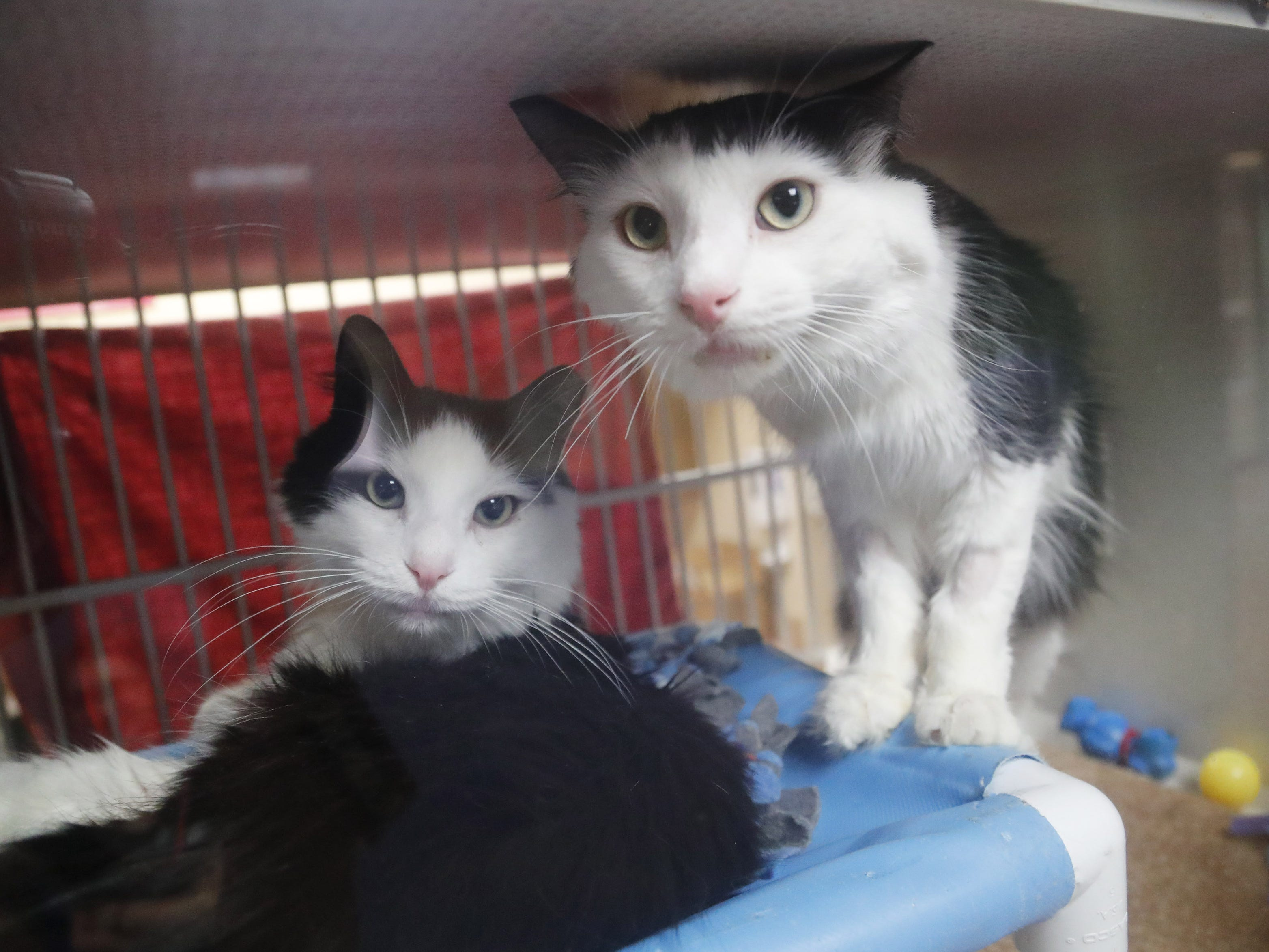 Silvester (left) and Spunky wait to be adopted at the Arizona Humane Society in Phoenix on April 1, 2019. More than 8,000 dogs and cats have been surrendered in Maricopa County since the start of the year.