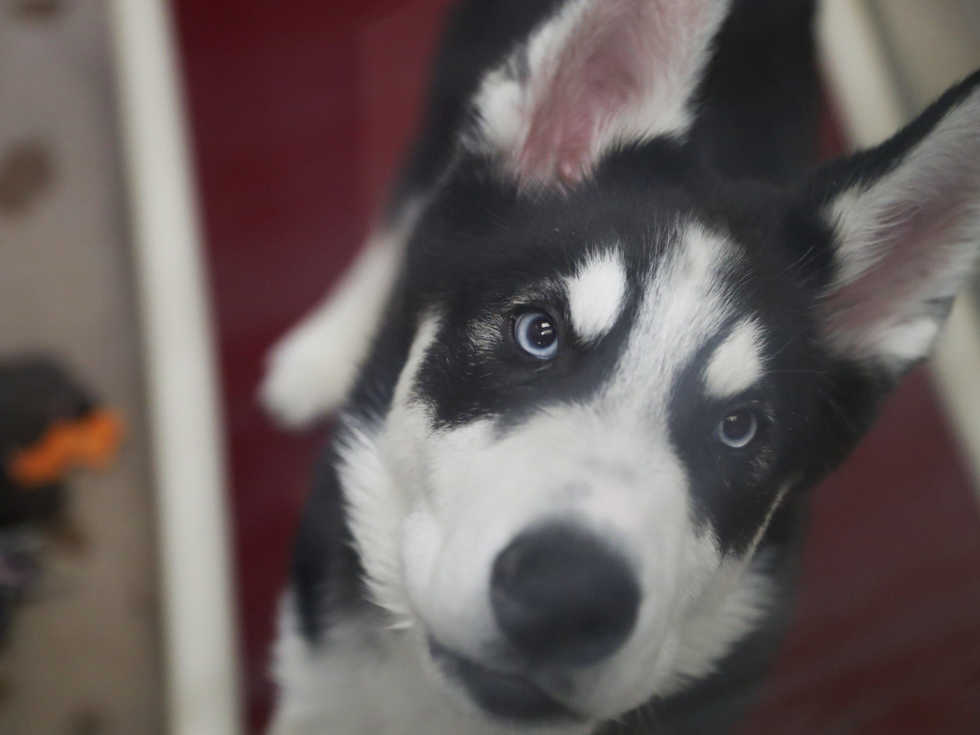 Koda, a 12-week-old Husky, will soon be ready for adoption at the Arizona Humane Society in Phoenix on April 1, 2019. More than 8,000 dogs and cats have been surrendered in Maricopa County since the start of the year.