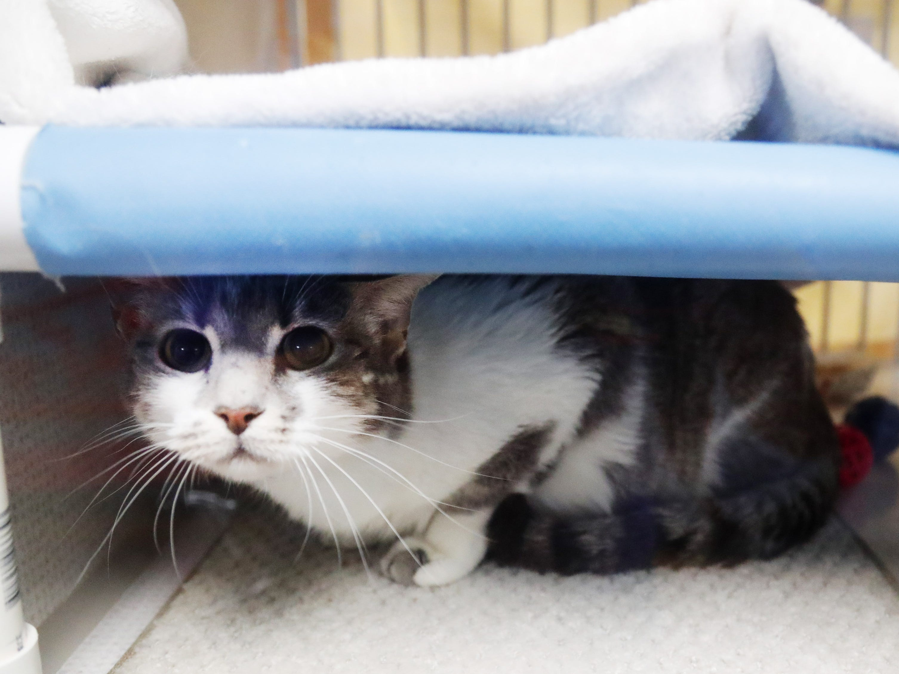 Layla, a domestic shorthair, waits to be adopted at the Arizona Humane Society in Phoenix on April 1, 2019. More than 8,000 dogs and cats have been surrendered in Maricopa County since the start of the year.