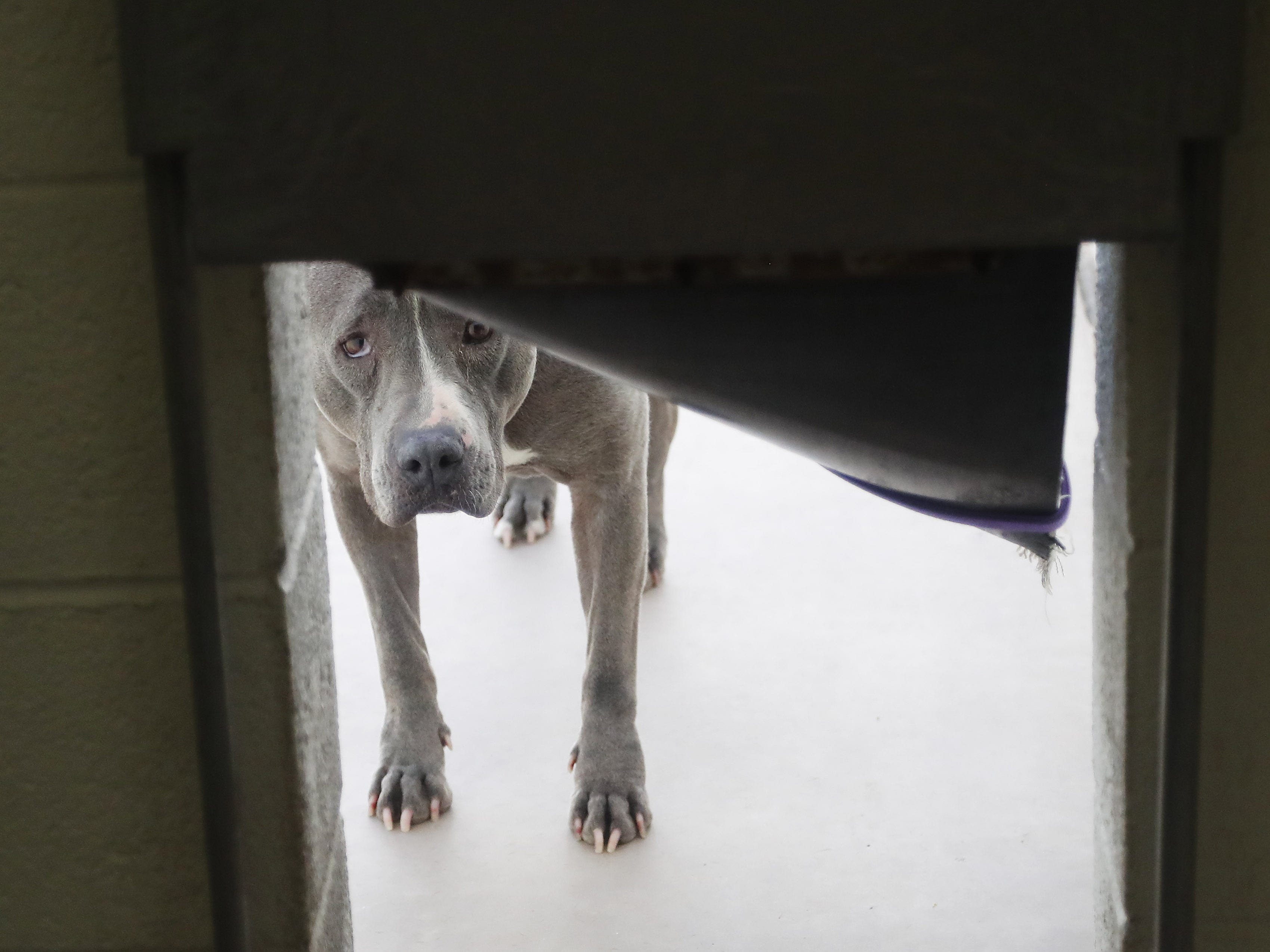 Babette, an American pit bull terrier, waits to be adopted at the Arizona Humane Society in Phoenix on April 1, 2019. More than 8,000 dogs and cats have been surrendered in Maricopa County since the start of the year.