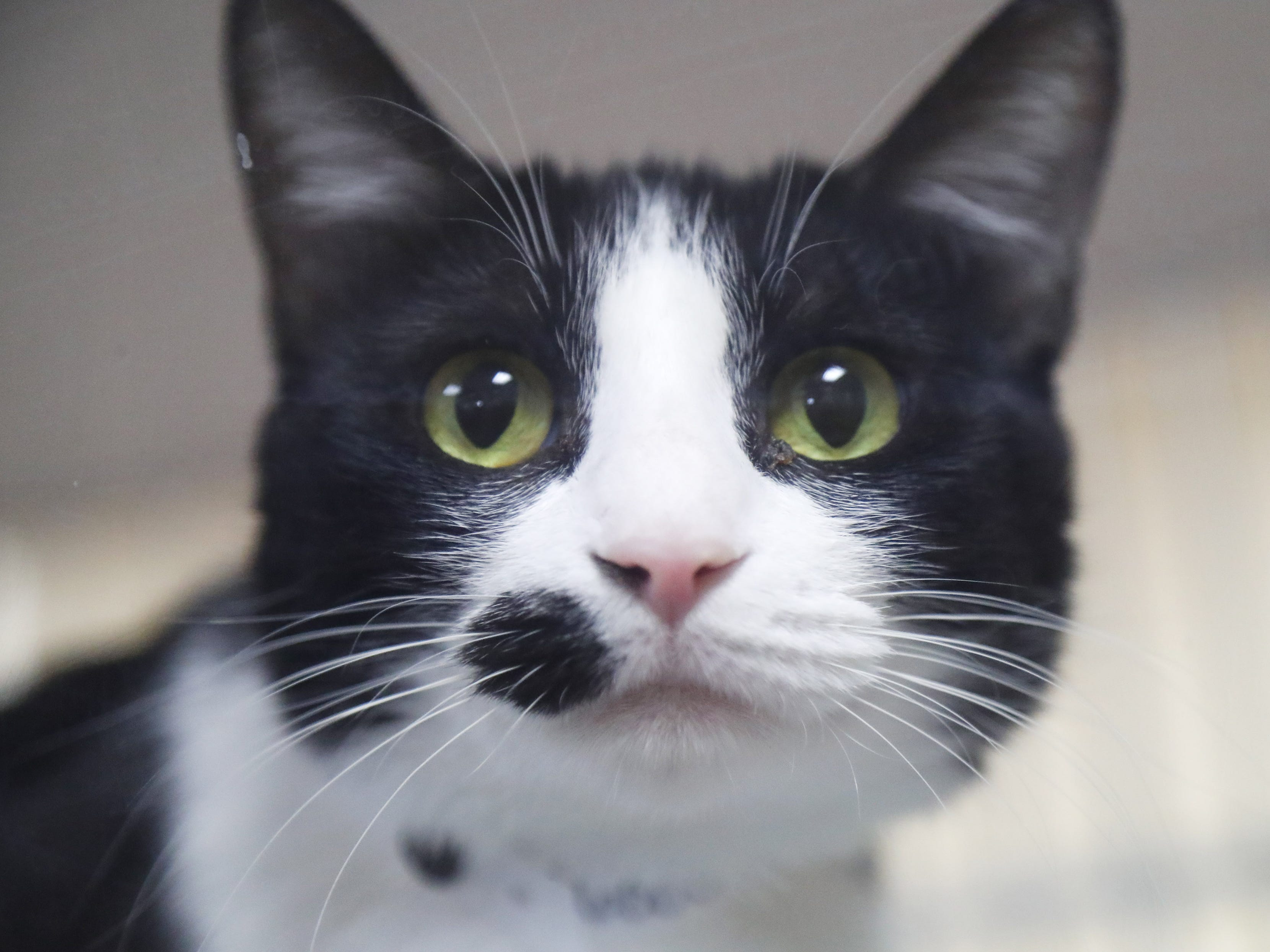 Dumpling, a domestic shorthair, waits to be adopted at the Arizona Humane Society in Phoenix on April 1, 2019. More than 8,000 dogs and cats have been surrendered in Maricopa County since the start of the year.
