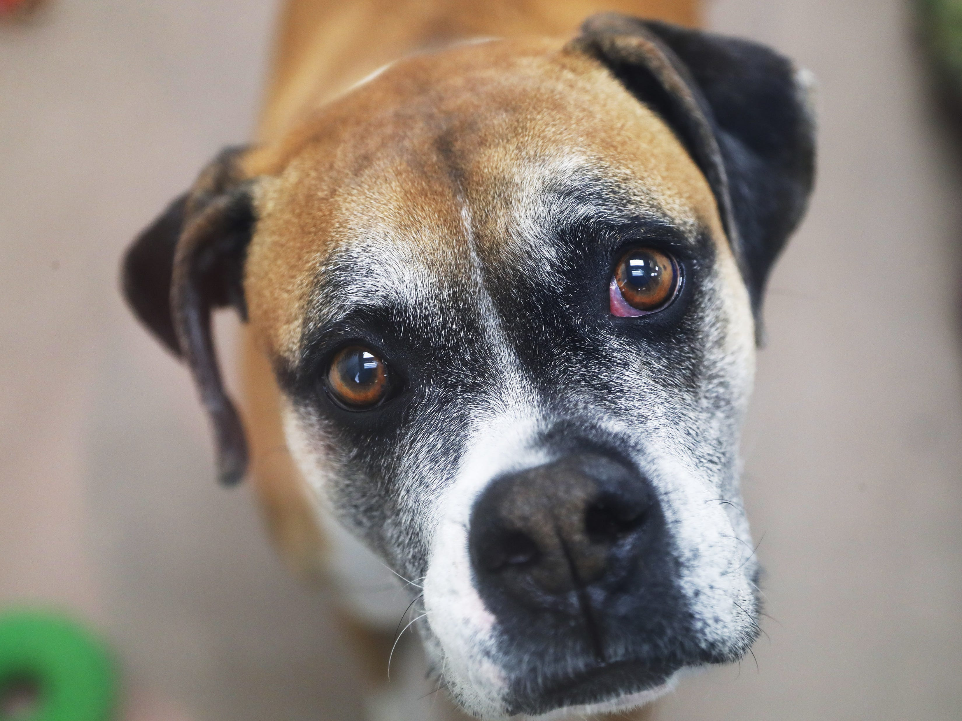Maggie, a boxer, waits to be adopted at the Arizona Humane Society in Phoenix on April 1, 2019. More than 8,000 dogs and cats have been surrendered in Maricopa County since the start of the year.