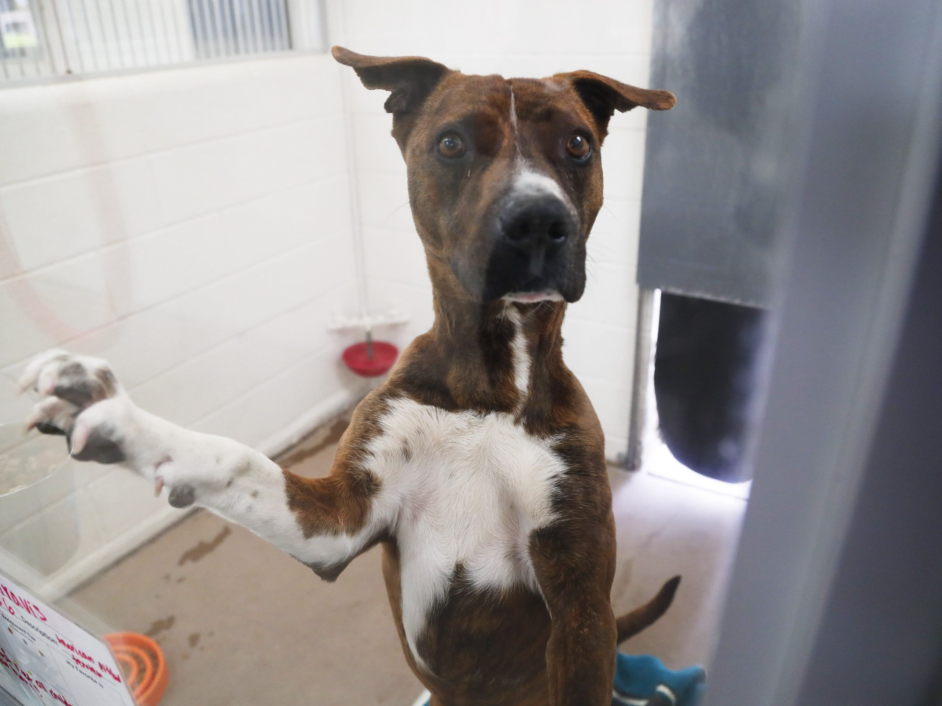 Travis, an American Terrier, waits to be adopted at the Arizona Humane Society in Phoenix on April 1, 2019. More than 8,000 dogs and cats have been surrendered in Maricopa County since the start of the year.