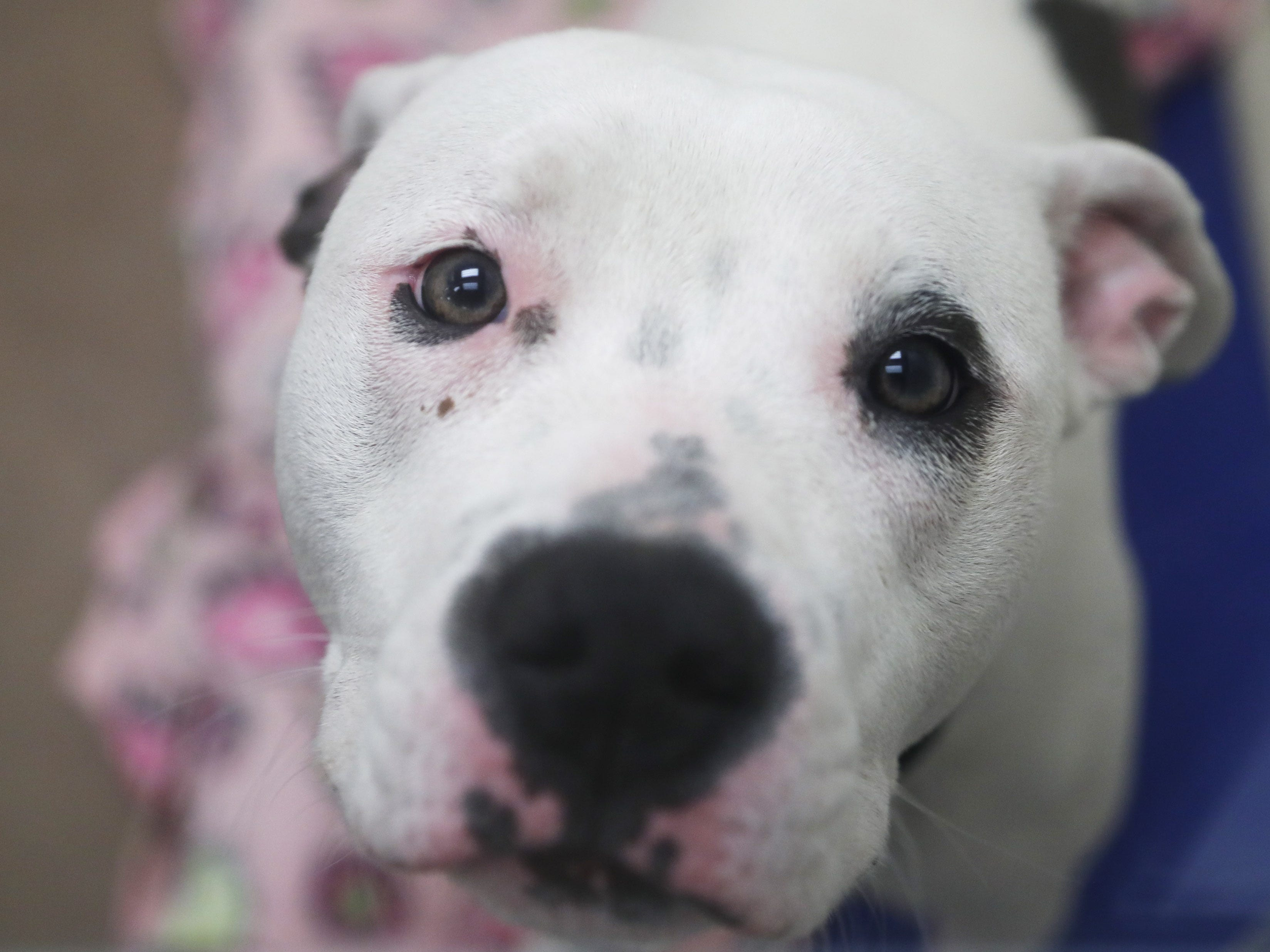 Mia, an American pit bull terrier, waits to be adopted at the Arizona Humane Society in Phoenix on April 1, 2019. More than 8,000 dogs and cats have been surrendered in Maricopa County since the start of the year.