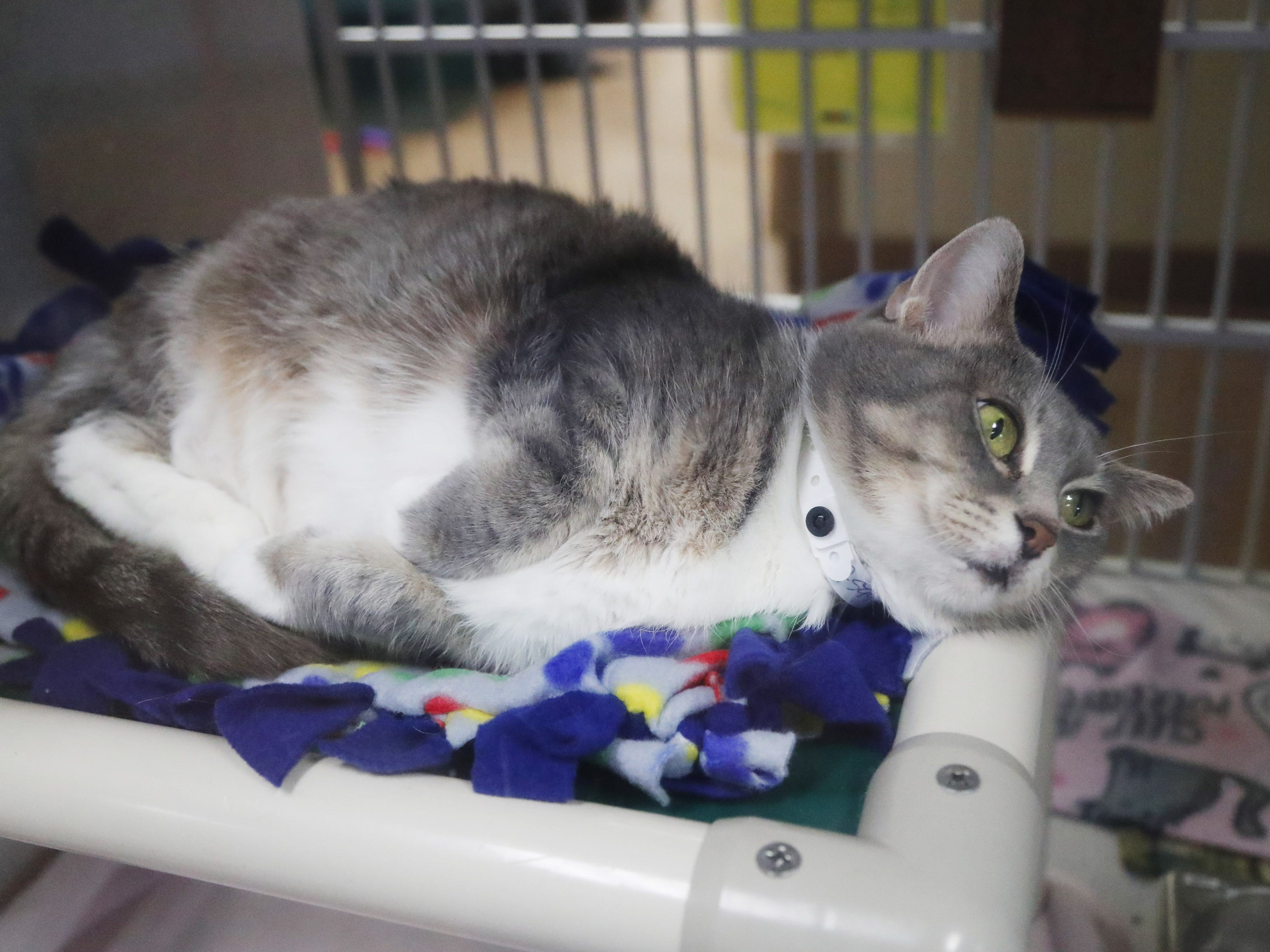 Mittens, a domestic shorthair, waits to be adopted at the Arizona Humane Society in Phoenix on April 1, 2019. More than 8,000 dogs and cats have been surrendered in Maricopa County since the start of the year.