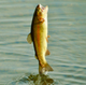 A rainbow trout jumps completely out of the water.