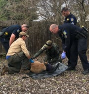 With assistance from local law enforcement, a CDFW biologist and wildlife officer examine a tranquilized mountain lion in the Sacramento suburb of Natomas in February.