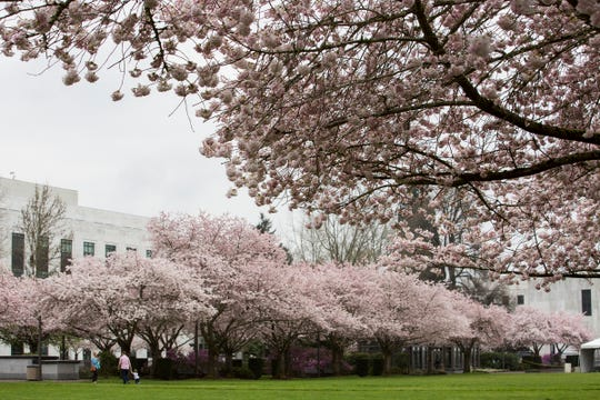 Rows of cherry blossom trees bloom in front of the Oregon State Capitol in Salem on April 1.