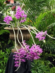 Dendrobium nestor (aka Little Seet Scent) at Tallahassee Orchid Society show.