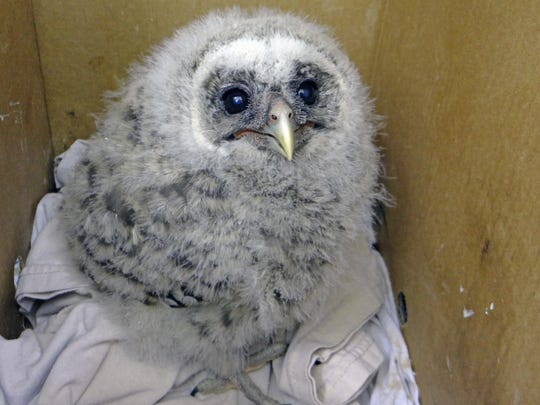 St. Francis Wildlife picked up this two-week-old barred owl nestling that was brought to Northwood Animal Hospital.