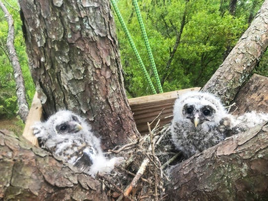 Two baby barred owls are now safe and snug in their nest.
