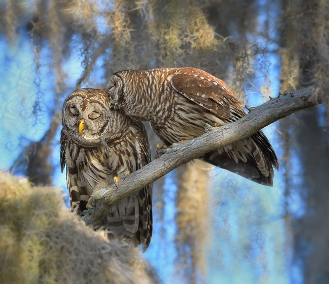 Barred Owls, like most birds of prey, mate for life. These two are strengthening their 'pair bond' with mutual preening.