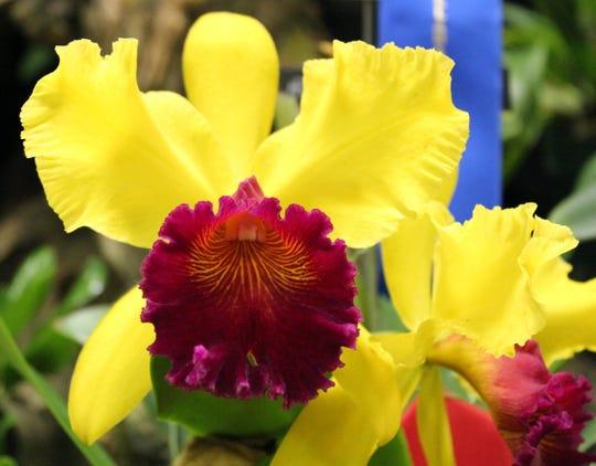 Cattleya orchid grown near a windowsill.