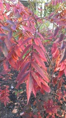 Researchers found that plants selected because they had red or purple colored foliage like the Rhus Copallinum Lanham did deter leaf eating insects.