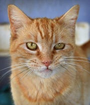 Fiona is a 2-year-old, orange tabby, domestic short-haired cat. She is spayed, vaccinated and microchipped. Fiona is calm, good with other cats and is available for adoption at the Humane Society of Wichita County.
