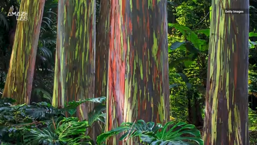 The colorful eucalyptus trees are considered one of the most beautiful trees in the world.