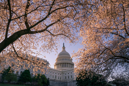 The Capitol is framed amid blooming cherry trees in Washington, Monday, April 1, 2019.