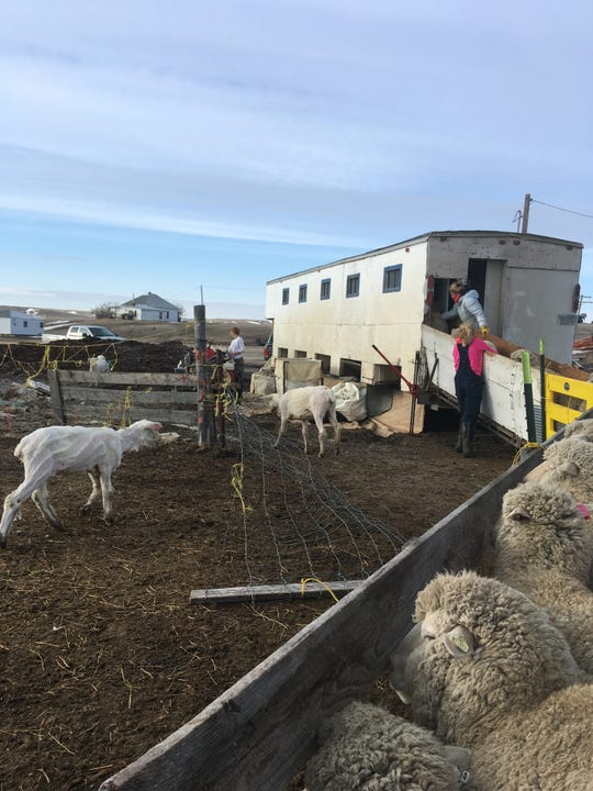 Katie Gisler and Abby Hutton push sheep into the shearing trailer at the Graham Ranch.