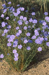 Lewis' blue flax, or Linum lewisii, is one of three plant species named in honor of Meriwether Lewis. Only one is named in William Clark's honor, elkhorn, which has the scientific name Clarkia pulchella.