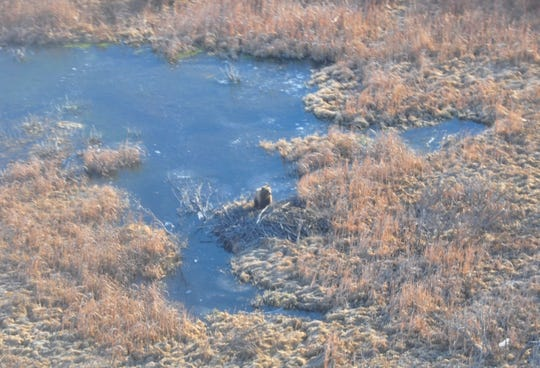 """Mike Madel of Montana Fish, Wildlife and Parks observed a grizzly bear on a beaver lodge in Pine Butte Swamp Preserve Tuesday. """"She was standing on a beaver lodge trying to dig out a beaver,"""" Madel said."""