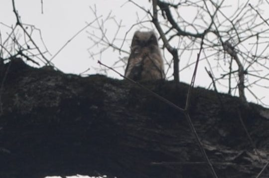 This is another one of the great-horned owls that has spent time in trees on the Tusculum University campus.