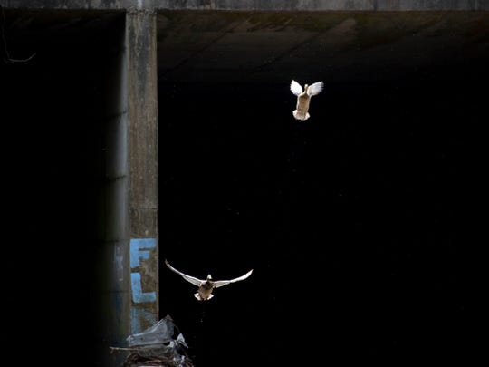 Ducks fly away from the waters of First Creek near a tunnel that runs under James White Parkway and Hall of Fame Drive. The tunnel exits near the Downtown dog park.