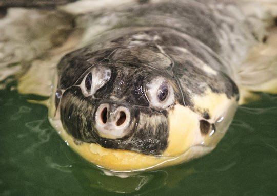 Onassis, a giant South American River turtle, is believed to be more than 100 years old. She has lived at the Milwaukee County Zoo since 1969.