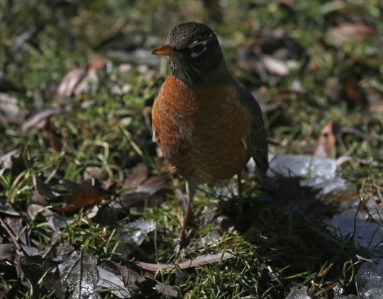 A robin makes an appearance looking for food in Bayside on Saturday, March 16, 2019.