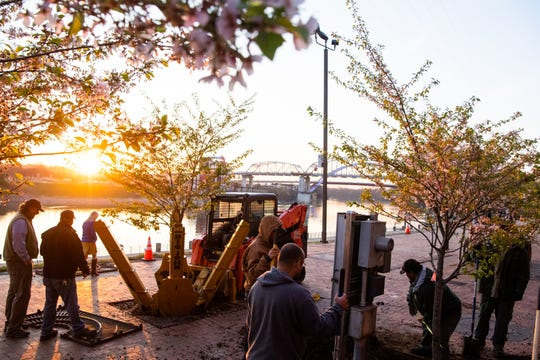 Metro Parks and Recreation workers replant two Yoshino Cherry trees along the riverfront Wednesday, April 3, 2019, in Nashville, Tenn. The City is transplanting the trees after protest of chopping the trees down to make room for a giant stage for the upcoming NFL Draft.